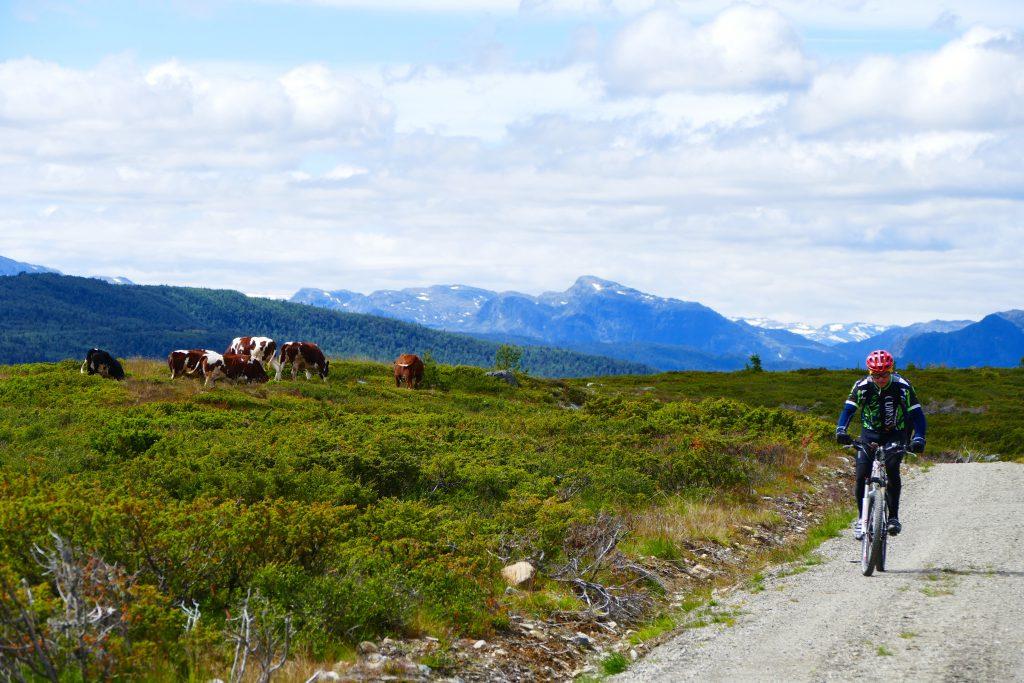 Mjølkekyr og syklister på Mjølkevegen